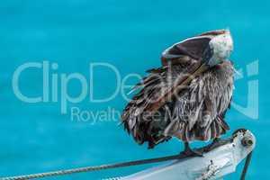 Brown pelican preening itself on ship winch