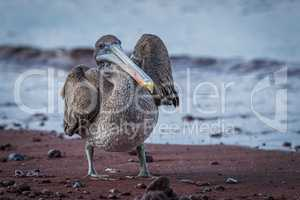 Brown pelican standing on red sandy beach