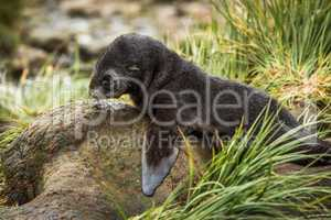 Close-up of Antarctic fur seal on rock