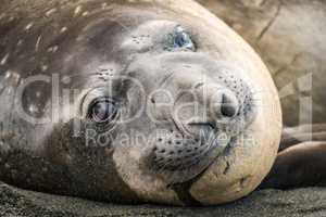 Close-up of elephant seal lying on beach