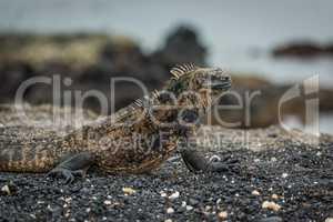 Close-up of marine iguana lying on beach