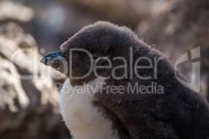 Close-up of rockhopper penguin chick in shade