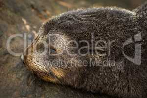 Close-up of sleeping Antarctic fur seal pup