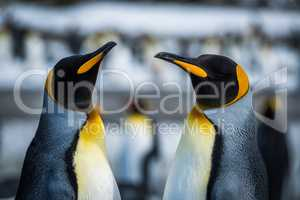 Close-up of two king penguins in colony