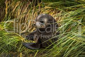 Cute Antarctic fur seal pup in grass