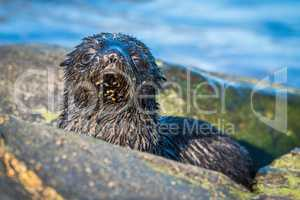 Cute Antarctic fur seal pup behind rock