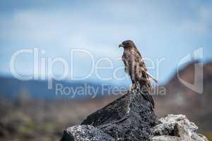 Galapagos hawk perched on rocks in sunshine