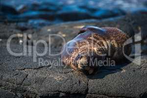 Galapagos sea lion asleep on volcanic rock
