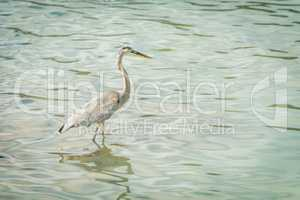 Great blue heron fishes in green water