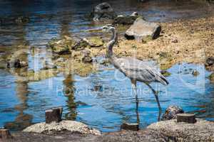 Great blue heron wading slowly through shallows