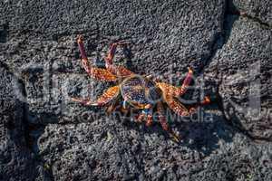 Juvenile Sally Lightfoot crab on volcanic rock