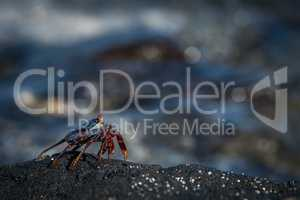 Juvenile Sally Lightfoot crab perched on rock