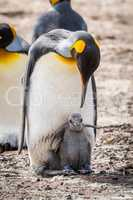 King penguin bending down to grey chick