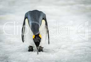 King penguin bending to peck at ice
