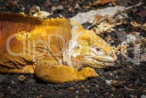 Land iguana lying on black volcanic rocks