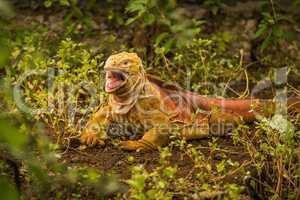 Land iguana with open mouth among bushes