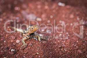 Lava lizard on beach looking at camera