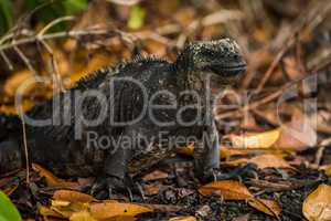 Marine iguana among dead leaves under bushes