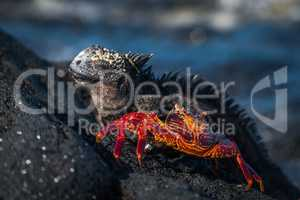Marine iguana and juvenile Sally Lightfoot crab