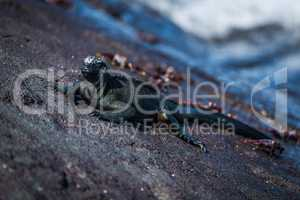 Marine iguana beside several Sally Lightfoot crabs