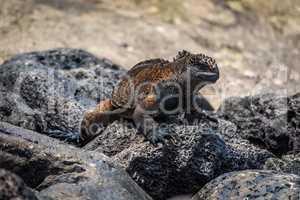Marine iguana climbing over grey volcanic rock
