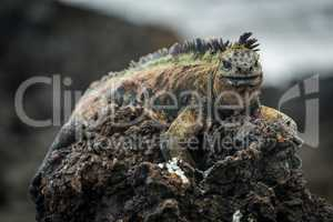 Marine iguana perched high on volcanic rock