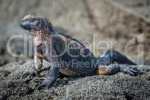 Marine iguana perched on grey volcanic rock