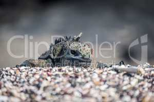 Marine iguana poking head over shingle ridge