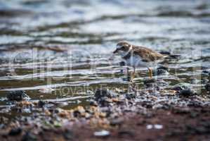 Ruddy turnstone wading through shallow rock pool