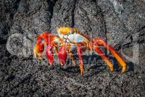 Sally Lightfoot crab on black volcanic rocks