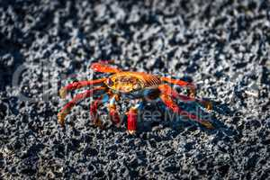 Sally Lightfoot crab on black volcanic rock