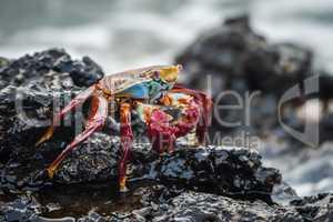 Sally Lightfoot crab on wet volcanic rocks