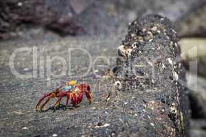 Sally Lightfoot crab stretching on volcanic rock