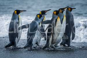 Six king penguins rushing towards sea together