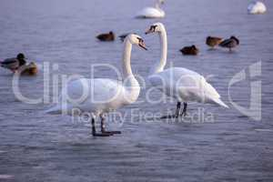 Lonely swans on ice on the lake in winter