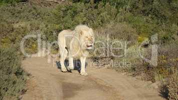 Seltenheit - weißer Löwe