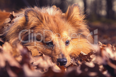 Shetland Sheepdog lies in brown foliage