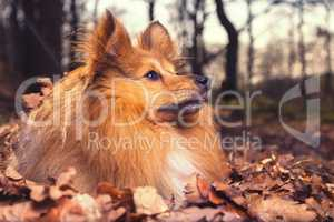 Sheltie lies in brown foliage and looks to the right