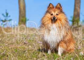 Sheltie sits on grass