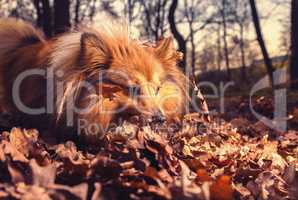 Shetland Sheepdog searches something in brown foliage