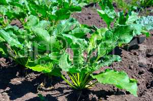beet tops on the background soils