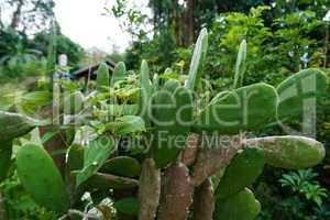 Image of cactus in rainforest. Phuket, Thailand
