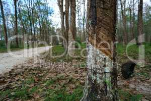 Plantation of rubber trees in Thailand