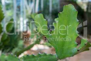 Cactus in tropical garden, close-up. Thailand