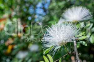 Image of white Mimosa Pudica. Thailand