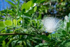 Image of sensitive plant called Mimosa Pudica