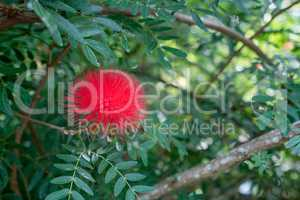 Red Mimosa Pudica in tropical garden. Thailand