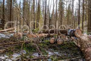Forestry. Close-up of spruce trunks after felling