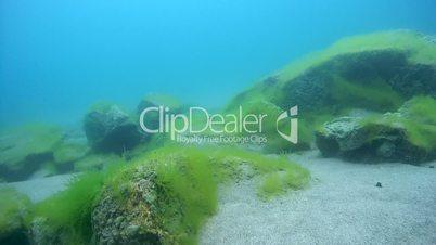 Sandy-rocky bottom overgrown with algae, Siberia, the Russian Federation, Eurasia