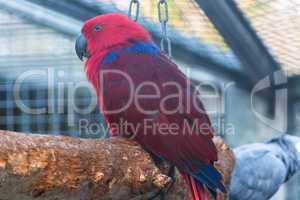 Papagei mit einem rot und blauen Gefieder.